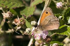 Meadow Brown-4180 (WendyCoops224) Tags: 100400mml 80d canon eos localbirdswlldlife minibeasts ©wendycooper butterfly meadow brown