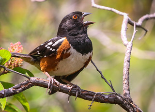 Spotted Towhee sings his heart out Inceville Los Liones Canyon Los Angeles 118