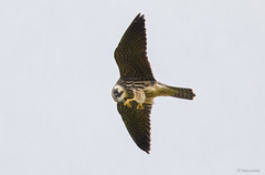 Boomvalk - Hobby - Falco subbuteo -2695 (Theo Locher) Tags: hobby boomvalk baumfalke fauconhobereau falcosubbuteo birds vogels vogel oiseaux netherlands nederland copyrighttheolocher