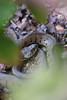 Couleuvre du soir (Pedropicco) Tags: couleuvre reptile serpent snake nature wildlife natrixnatrix hortensias