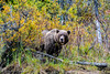 bear watching us from the forest (barragan1941) Tags: alaska fauna lakeclark mamiferos osos bear