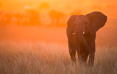 Sunset Elephant (Markp33) Tags: