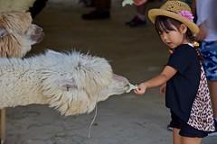 Alpaca (dSLRartist) Tags: canon 5d mark4 f24 alpaca illamas ef70200mm f28l shikisainooka cute joyous happy