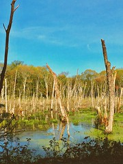 (Scorpiol13) Tags: logs algae mud forest trees brown green blue landscape wetland nature marsh swampland wood reflection water