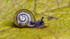 _IMG7916 Snail (Pete.L .Hawkins Photography) Tags: petehawkins petelhawkinsphotography petelhawkins petehawkinsphotography pentax 100mm macro pentaxpictures pentaxk1 fantasticnature fabulousnature incrediblenature naturephoto wildlifephoto wildlifephotographer naturesfinest unusualcreature naturewatcher insect invertebrate bug 6legs compound eyes creepy crawly uglybug bugeyes fly wings eye veins flyingbug flying beetle shell elytra ground