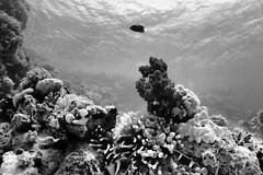 (saavedl) Tags: lx5 underwater dive redsea bw bn blackandwhite monochrome marinelife gopro wildlife wideangle egypt