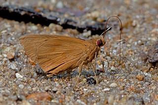 Matapa aria - the Common Redeye