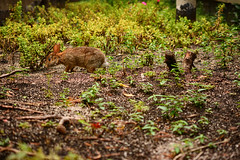 Which Way Did Alice Go? **Explored** (flashfix) Tags: september052017 2017inphotos ottawa ontario canada nikond7100 nikon 40mm bunny rabbit hare garden rideaucentre downtown ground dirt nature animal mothernature