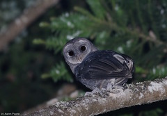 Greater Sooty Owl (Tyto tenebricosa) (Heleioporus) Tags: greater sooty owl tyto tenebricosa central coast new south wales