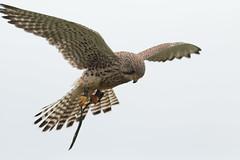 Be the Kestrel (Eastern Davy) Tags: kestrel falcotinnunculus birdsofprey bird outdoor worldofwings canon 70d 300mm