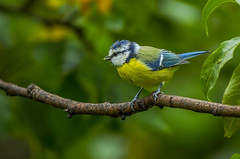 Blue-tit - youngster (Bojan Žavcer) Tags: bluetit bird animal wildlife nature blue green orange red eye fauna colorful depthoffield wing abstract color outdoor park water white wild avian beautiful birding space long amazing blur broun exotic fascinant fast flight freedom enviromant perching stick sunlight tailed head lovely canoneos7dmarkii ef600mmf4lisusm greatphotographers