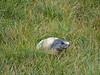 Austria '17 (faun070) Tags: franzjosefhöhe grossglocknerstrasse austria murmeltier marmotamarmota alpinemarmot