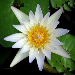 Water lily (PeterCH51) Tags: usa us florida white flower waterlily garden botanicalgarden fruitandspicepark homestead square squareformat peterch51