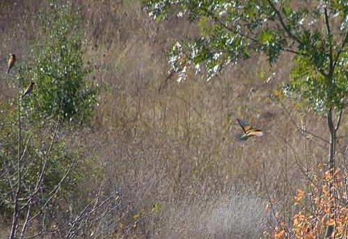 Золотистая щурка / Merops apiaster / European bee-eater / Обикновен пчелояд / Bienenfresser