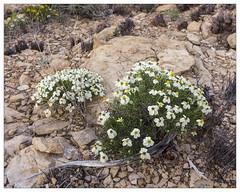 Zennia acerosa (AnEyeForTexas) Tags: desertzennia zinniaacerosa badlands plant dwarfzennia texasnative wildflower westtexas asteraceae
