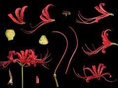 Amaryllidaceae Lycoris radiata (taiwanicus) Tags: 完全花 perfectflower 兩側對稱 zygomorphy 合辦花 gamopetalous 上位花 epigynousflower 兩性花 bisexualflower 總苞 involucre 花被筒 perianthtube 雄蕊 stamen 花絲 filament 花藥 anther 縱裂 longitudinaldehiscence 離生雄蕊 distinctstamens 雌蕊 pistil 子房 ovary 花柱 style 柱頭 stigma