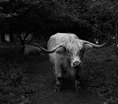 """ Crosstown Traffic "" (hope2029) Tags: white bull footpath monochrome yorkshire west dale denby dark"