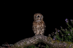 A handsome Tawny Owl 750_0707.jpg (Mobile Lynn) Tags: birds tawnyowl wild owls nature bird fauna strigiformes strixaluco wildlife nocturnal otterbourne england unitedkingdom gb