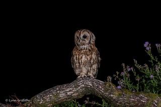 A handsome Tawny Owl 750_0707.jpg