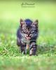 Meet Little NaMir | Kitten (AnNamir™ c[_]) Tags: annamir canon 5dmk3 sigma 200mm f28 huluselangor darulquranjakim malaysia kitten cats cute siberiancat