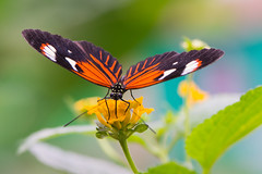 Butterfly (SoFuZion) Tags: butterfly papillon nature insecte insect color bokeh nikon d7200 105mm macro natural colorful