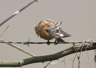 Sporophila minuta / Ruddy-breasted Seedeater