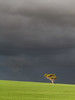 Golden gum (Trace Connolly Photography) Tags: sunset landscape australia lanschaft gold golden green yellow tree paddock black grey gloomy mood wonderful canon canon7d 7d sigma sigma1750f28exdcoshsm sigma1750mm nature environment natura sunlight country glow natur natural naturaleza naturephotography colour color colourful outdoor outdoors outside eos exposure flickr earth environmental environmentalphotography sunrise contrast