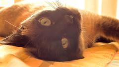 "Enjoying the Sun (theSnoopyG - thanks for over 1/2 million views!) Tags: ""gattosiamese"" ""siamesecat"" gato gat look ""intenselook"" eyes eye cat portrait gorgeous kissa katze 貓 猫 قط axl pet pets animali animale ""sealpoint"" expression blue ""catchtheeye"" beautiful peaceful peace curiosity katt kat kitten ritratto pointed ""beautifulcat"" ""beautifulcats"" hd high definition ""highdefinition"" ""highdefinitionphoto"" istock zen relax sun enjoy enjoying rolling"