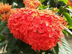 Jungle flame 2 (Sadot Arefin) Tags: mobile phone huawei gr5 premium photography bangladesh