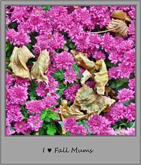 Chrysanthemum 21 (M.J.Woerner) Tags: november fallmums asteraceae chrysanths autumcolors postermums chrysanthemum autumflower