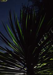 _MG_2004.CR2 (jalexartis) Tags: yucca yuccaplant shrub shrubbery nightphotography night nightshots dark lighting camranger lumecube