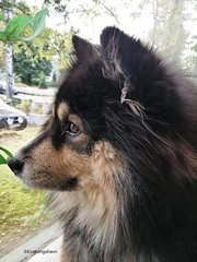 Weekend greetings from us (evakongshavn) Tags: dogportrait unconditionallove love dog dogs dogschilling dogphotography finnishlapphund