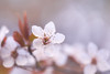 Unfolding Before You (Anna Kwa) Tags: blossoms flowers macro bokeh art nature queenstowngardens otaga southisland newzealand spring annakwa nikon d750 afsvrmicronikko105mmf28 my heart unfolding always you yours forever seeing soul throughmylens omm primavera michaelbublé someday travel world