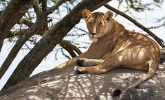 On The Lookout - Part 8 (AnyMotion) Tags: lion löwe pantheraleo female lioness löwin sleepy müde cat katze rock felsen 2015 anymotion serengetinationalpark tanzania tansania africa afrika travel reisen animal animals tiere nature natur wildlife 7d2 canoneos7dmarkii