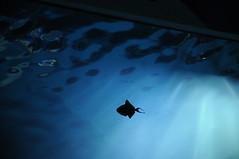 Im Aquarium; Hamburg, Hagenbeck (4) (Chironius) Tags: hamburg deutschland germany allemagne alemania germania германия tier zoo blau gegenlicht