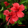 Hibisco/Hibiscus (Altagracia Aristy Sánchez) Tags: hibiscos hibiscus hibisco laromana quisqueya repúblicadominicana dominicanrepublic caribe caribbean caraïbe antillas antilles trópico tropic américa fujifilmfinepixhs10 fujifinepixhs10 fujihs10 altagraciaaristy
