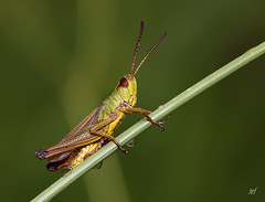Crickets (JPF Photos) Tags: criquet animals animaux beauty nature natural ngc insect insectes animal green red closeup close canon crickets color macrophotography macro macrophotographie model legs large hairy hq 100mm 28 lens iso stacking stack big