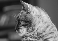 a pretty child (kinaaction) Tags: cat animal creature tabbycat blackandwhite bw sonyilce6000 profile catsprofile