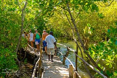 Mangrove boardwalk at Gazi Bay