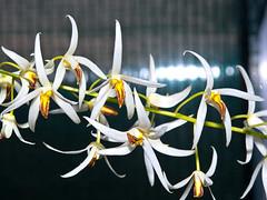 Dendrobium (Epigeneium) cacuminis (Eerika Schulz) Tags: epigeneium cacuminis dendrobium eerika schulz