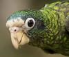 Cuca2 (javier.gautier) Tags: cotorra amazonaventralis sánchezramírez dominicanrepublic do