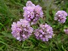 Kanten-Lauch - Allium angulosum, NGIDn1111454955 (naturgucker.de) Tags: ngidn1111454955 naturguckerde kantenlauch alliumangulosum 915119198 92636685 451555435 chorstschlüter