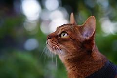 Lizzie (DizzieMizzieLizzie - Off for a while) Tags: abyssinian aby beautiful wonderful lizzie dizziemizzielizzie portrait cat chats feline gato gatto katt katze katzen kot meow mirrorless pisica sony a6500 animal pet 2017
