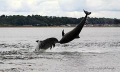 Moray Firth bottlenose dolphins (niknok2007...) Tags: morayfirth dolphin beach breach bottlenose bottlenosedolphin blackisle scotland sea summer wild water wildlife fortrose rosemarkie nature niknok2007 nicolaratcliffe nicolaratcliffephotography