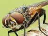 From the Front (pen3.de) Tags: wildlife wiese tier insekt fliege raupenfliege naturlicht tautropfen morgentau flügel portrait fliegenportrait farben makro morgenlicht roteaugen facettenaugen fühler details beine