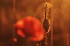 In the rays of the setting sun (pszcz9) Tags: poland polska przyroda nature natura zbliżenie closeup mak poppy bokeh beautifulearth sony a77 kwiat flower