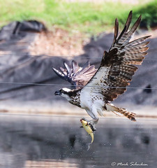 Osprey Stealing Fish at Fish Hatchery (Mark Schocken) Tags: panionhaliaetus fishhatchery markschocken osprey sedonaarizona