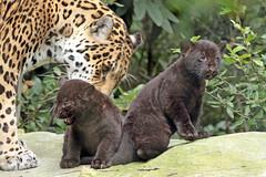 jaguar Rica with cubs born 28 6 2017 artis BB2A2865 (j.a.kok) Tags: jaguar artis rica cubs jaguarcubs blackjaguar zwartejaguar mammal zoogdier dier animal zuidamerika southamerica pantheraonca