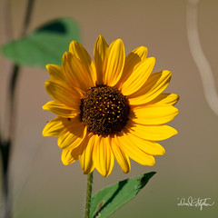 Wild Sunflower (dcstep) Tags: dsc3319dxo metaboneseftoeadapterversionv sonya9 canonef500mmf4lisii handheld allrightsreserved copyright2017davidcstephens dxoopticspro1142 cherrycreekstatepark colorado usa greenwoodvillage cherrycreekreservoir ngc pixelpeeper