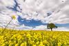 Rapeseed field (technodean2000) Tags: rapeseed field gate abergaveny mid wales uk tree nikon d610 landscape
